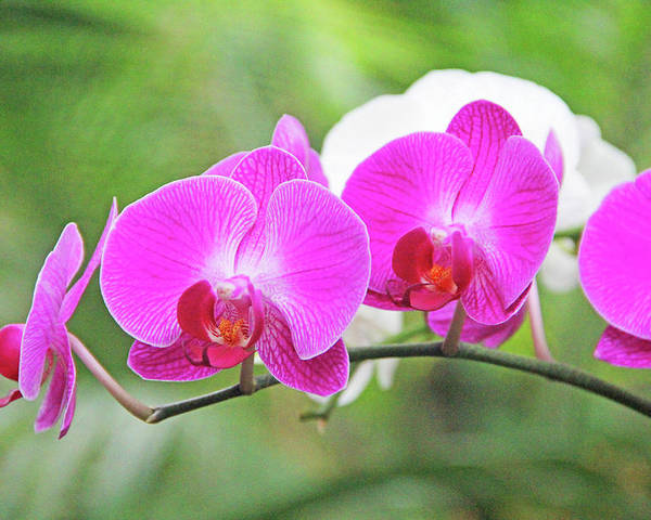 Flower Poster featuring the photograph Pretty Orchids All In A Row by Becky Lodes