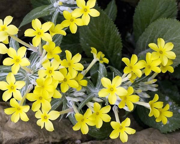 Primula Verticillata Poster featuring the photograph Primula Verticillata Flowers by Bob Gibbons