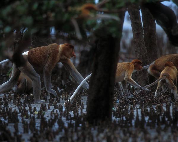 Nasalis Larvatus Poster featuring the photograph Proboscis Monkeys Travel Over Mangrove by Tim Laman