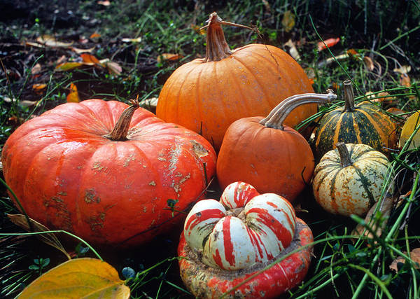 Pumpkins Poster featuring the photograph Pumpkin Patch by Kathy Yates