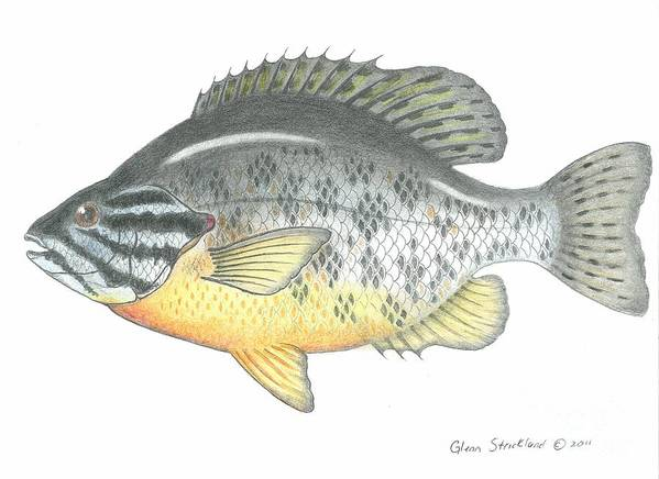 Pumpkin Seed Poster featuring the drawing Pumpkin Seed Fish by Glenn Strickland