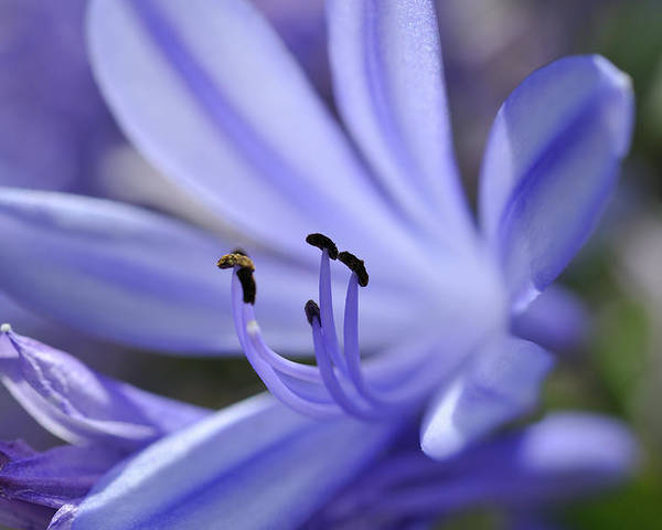 Horizontal Poster featuring the photograph Purple Flower Close-up by Sami Sarkis