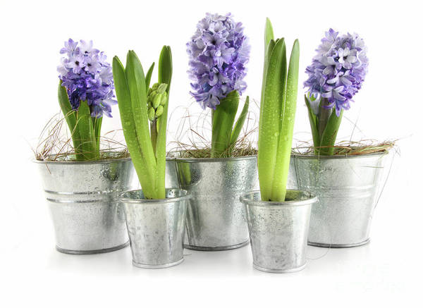 Background Poster featuring the photograph Purple Hyacinths by Sandra Cunningham