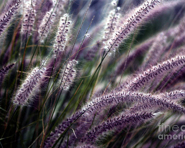 Ornamental Grass Poster featuring the photograph Purple Ornamental Fall Grass by Marjorie Imbeau