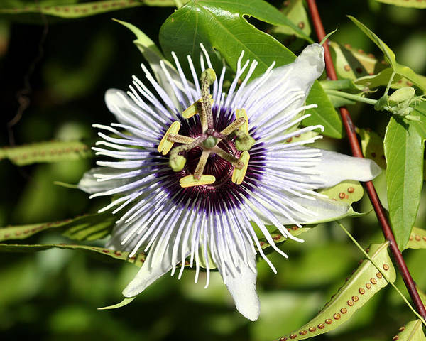 Purple Poster featuring the photograph Purple Passionflower by April Wietrecki Green