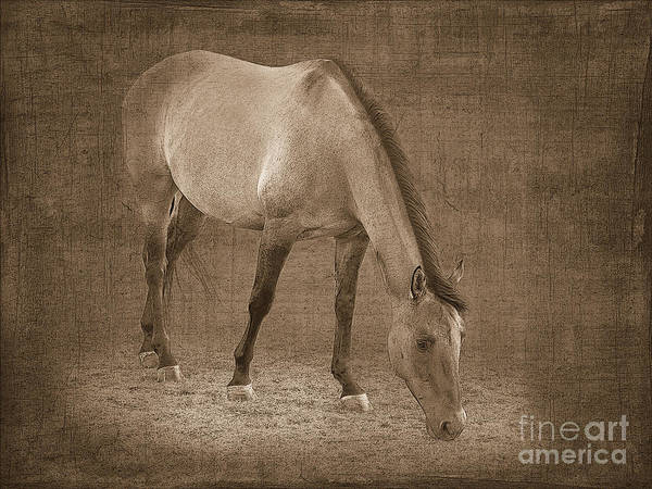Horse Poster featuring the photograph Quarter Horse In Sepia by Betty LaRue