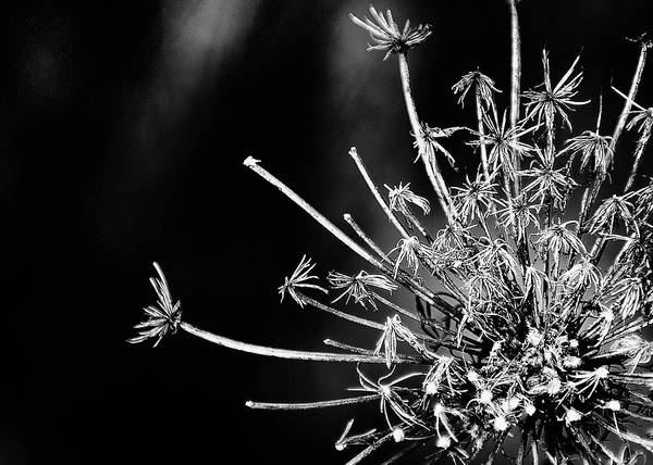 Queen Anne's Lace Poster featuring the photograph Queen Anne's Lace - 2 by John Girt