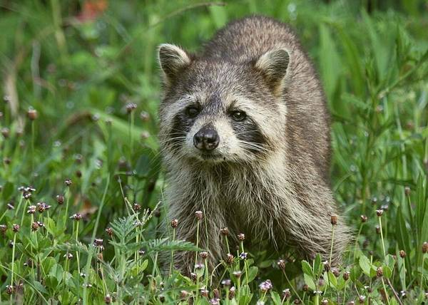 Wildlife Poster featuring the photograph Raccoon Looking For Lunch by Myrna Bradshaw