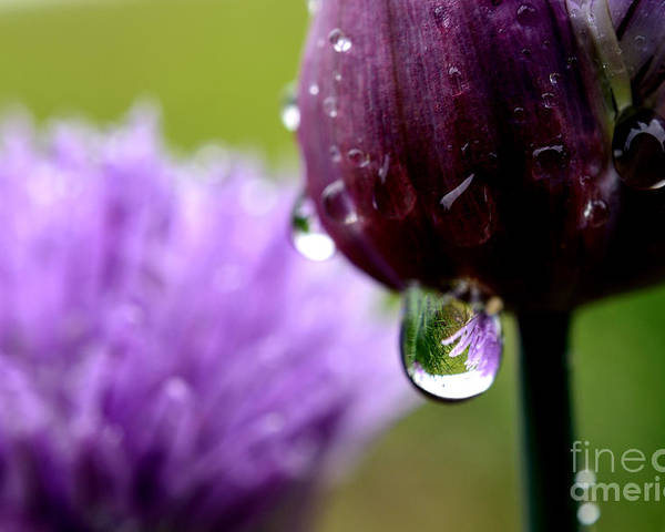 Chives Poster featuring the photograph Raindrops On Chives by Thomas R Fletcher
