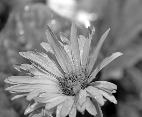 Raindrops Poster featuring the photograph Raindrops On Daisy by Maria Urso