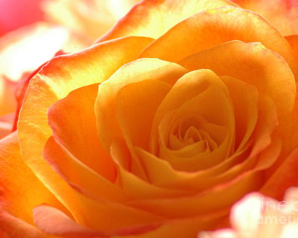 Rose Poster featuring the photograph Red And Orange Rose by Holly Blattner