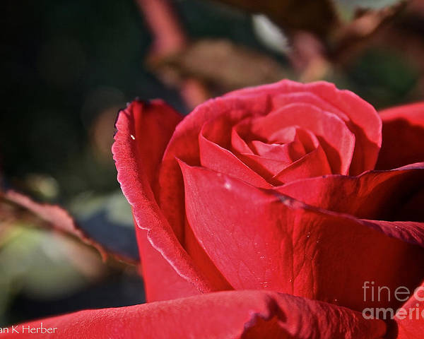 Flower Poster featuring the photograph Red And Ready For Review by Susan Herber