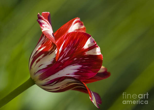 Tulip Poster featuring the photograph Red And White  Rouge Et Blanc by Nicole Cloutier Photographie Evolution Photography