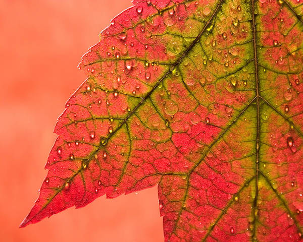 Red Poster featuring the photograph Red Autumn by Carol Leigh