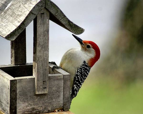 Red Bellied Woodpecker Poster featuring the photograph Red Bellied Woodpecker by L Granville Laird