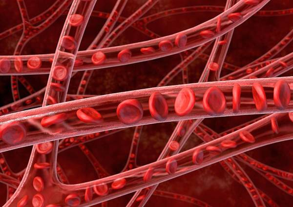 Arterial Poster featuring the photograph Red Blood Cells In Blood Vessels, Artwork by David Mack
