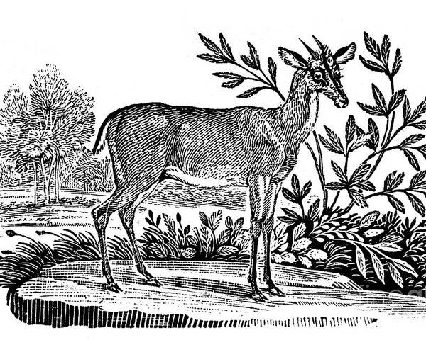 1824 Poster featuring the photograph Red Deer by Granger