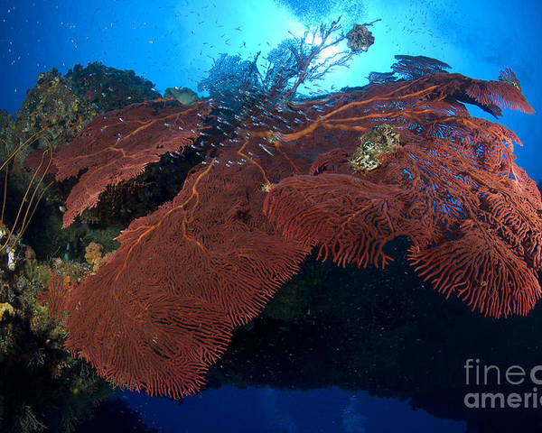 Anthozoa Poster featuring the photograph Red Fan Cora With Sunburst, Papua New by Steve Jones