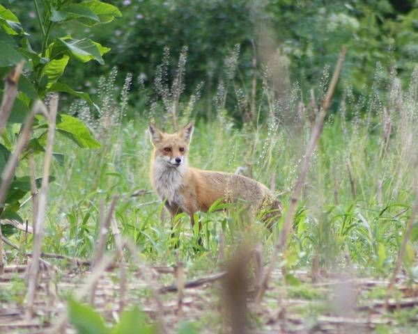 Fox Poster featuring the photograph Red Fox by Deb Kline