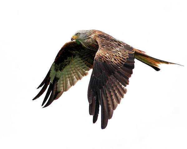 Horizontal Poster featuring the photograph Red Kite In Flight by Grant Glendinning Photography