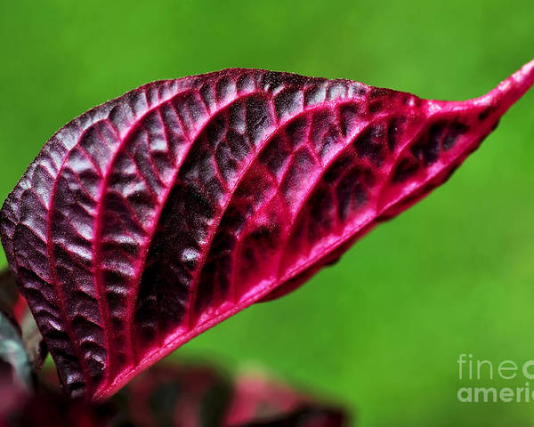 Photography Poster featuring the photograph Red Leaf by Kaye Menner
