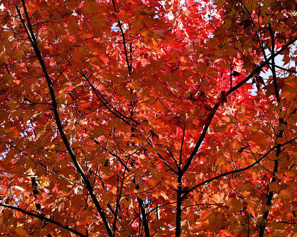 Red Poster featuring the photograph Red Leaves Black Branches by Rich Franco
