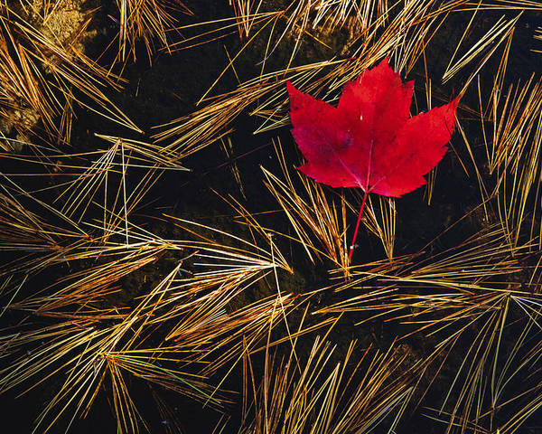 Canadian Poster featuring the photograph Red Maple Leaf On Pine Needles In Pool by Mike Grandmailson