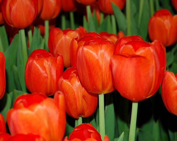 Tulips Poster featuring the photograph Red Tulips by Aisha Karen Khan