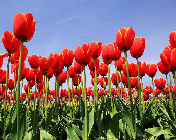 Tulips Poster featuring the photograph Red Tulips by Kean Poh Chua