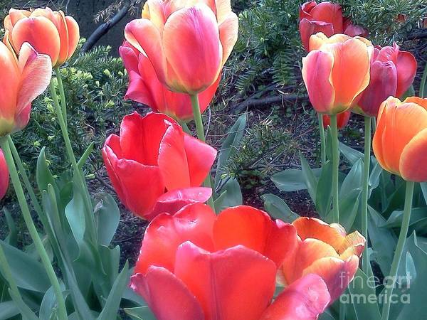 Tulips Poster featuring the photograph Red Tulips by Kevin McDowell