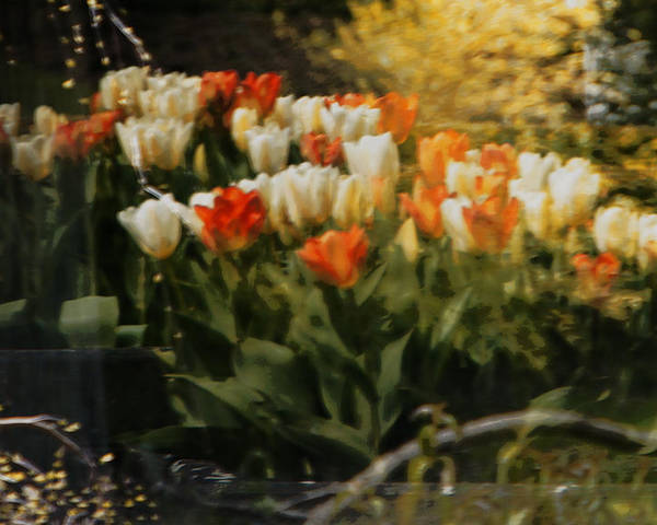 Tulips Poster featuring the photograph Window Reflections by Marilyn Wilson