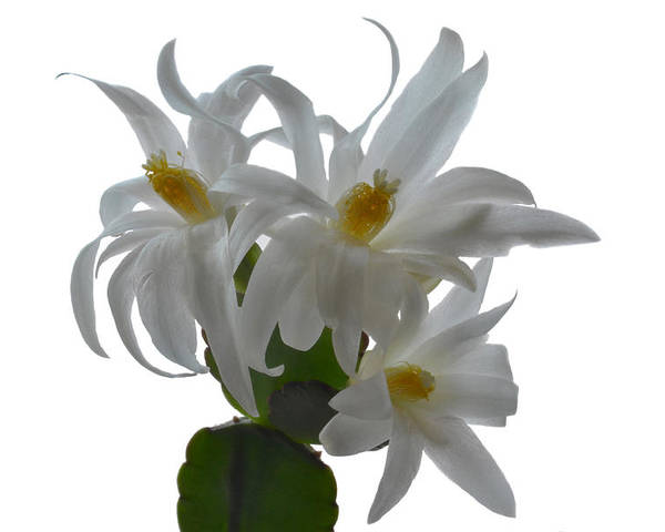 Easter Cactus Poster featuring the photograph Rhipsalidopsis by Terence Davis