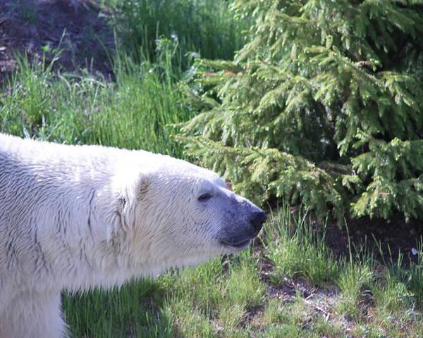 Polar Bear Poster featuring the photograph Roaming Polar Bear by Don Downer