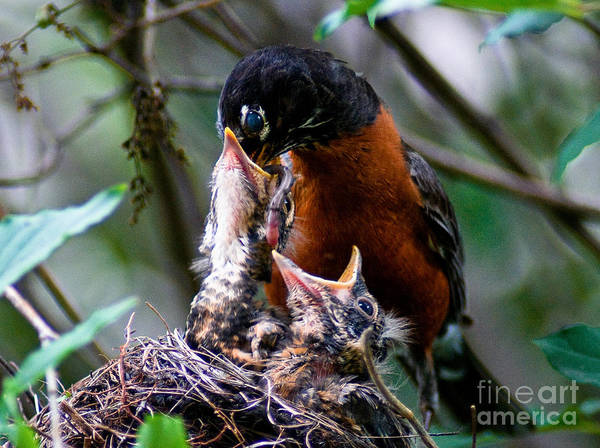 Robin Poster featuring the photograph Robin Feeding Young 1 by Terry Elniski