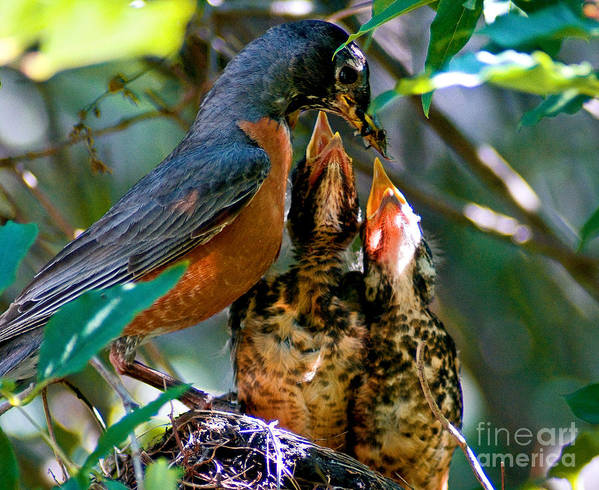 Robin Poster featuring the photograph Robin Feeding Young 2 by Terry Elniski