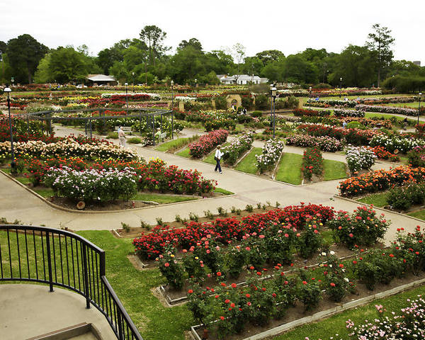 Roses Poster featuring the photograph Rose Garden Park Tyler Texas by M K Miller