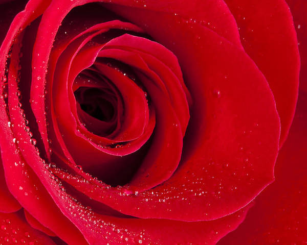Flower Poster featuring the photograph Rose Macro Wet 1 C by John Brueske