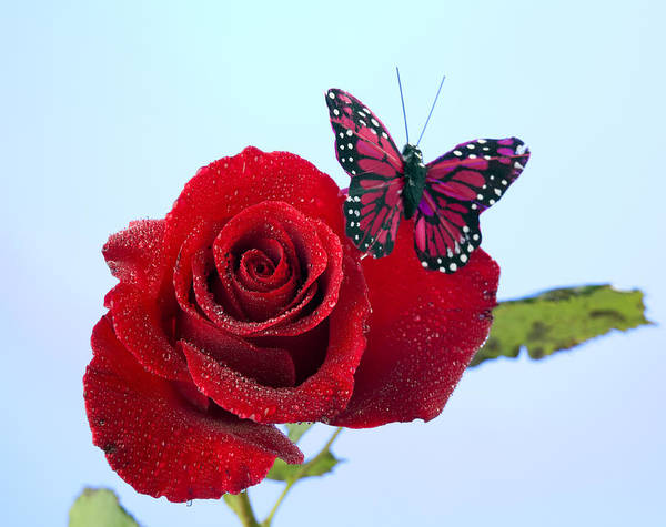 Rose Poster featuring the photograph Rose Red Butterfly Isolated On Blue by M K Miller