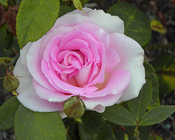Soft Pink Rose Poster featuring the photograph Rosy by Tikvah's Hope