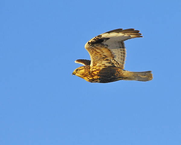 Rough-legged Hawk Poster featuring the photograph Rough-legged Hawk by Tony Beck