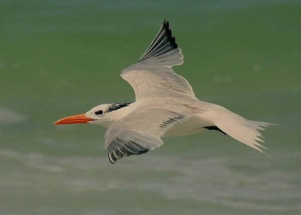 Terns Poster featuring the photograph Royal Flight by Myrna Bradshaw