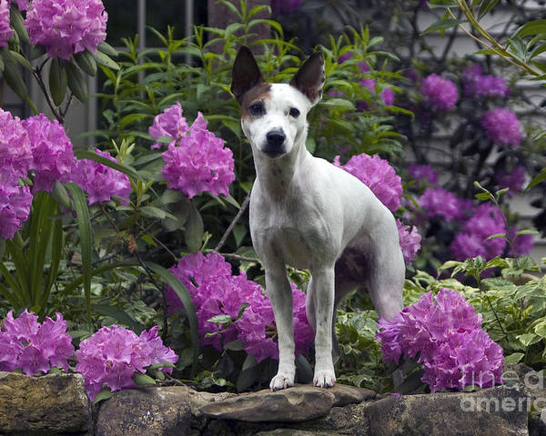 Jack Russell Poster featuring the photograph Ruby In The Garden by Denise Dempster