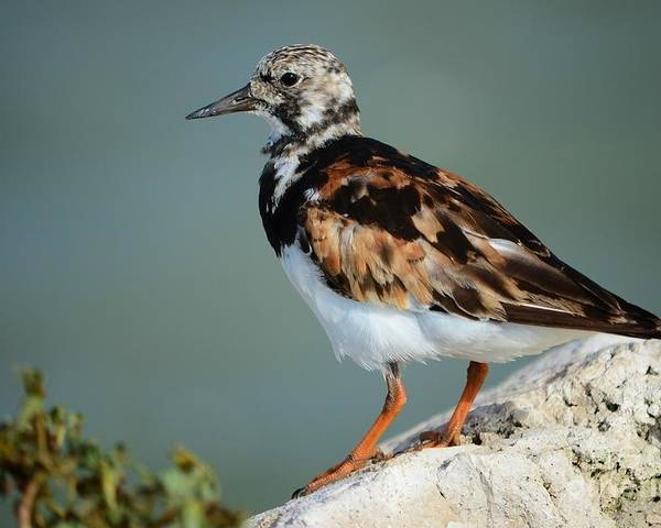 Ruddy Turnstone Poster featuring the photograph Ruddy Turnstone by Lynda Dawson-Youngclaus