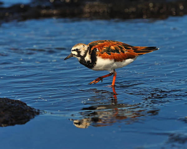 Ruddy Turnstone Poster featuring the photograph Ruddy Turnstone by Tony Beck