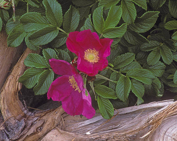 Rugosa Poster featuring the photograph Rugosa Rose And Driftwood by Ralph Fahringer
