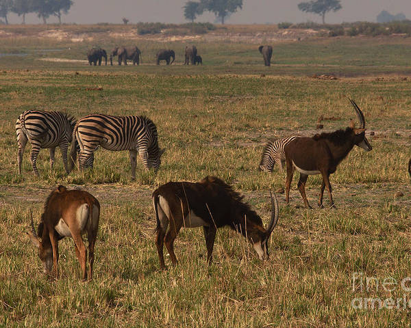 Zebra Poster featuring the photograph Sable Antelope With Zebra And Elephants by Mareko Marciniak