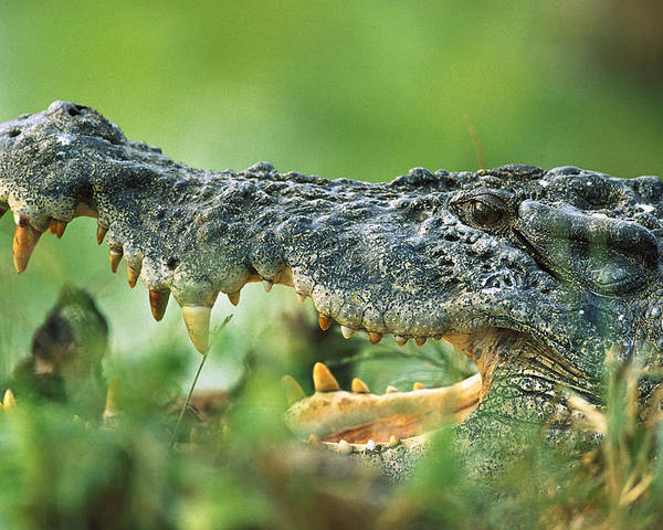 Mp Poster featuring the photograph Saltwater Crocodile Crocodylus Porosus by Cyril Ruoso