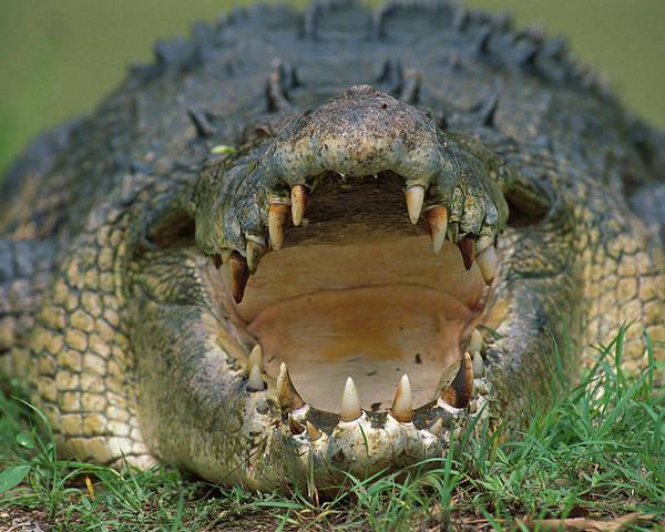 Ai Poster featuring the photograph Saltwater Crocodile Crocodylus Porosus by Jean-Paul Ferrero