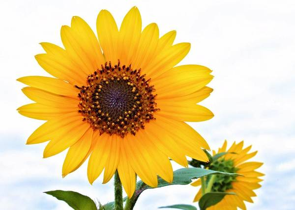 Flower Poster featuring the photograph Sassy Sunflower by Elizabeth Budd