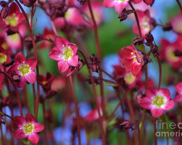 Purple Poster featuring the photograph Saxifraga by Art Kleisen